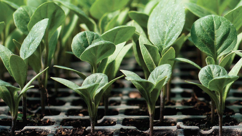 Coltivare Lamponi In Vaso vigorplant, professionisti del verde: semina e taleaggio
